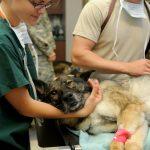 La formation et les qualités requises pour devenir auxiliaire de santé animale